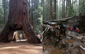 One of the world's most famous trees has fallen after 1,000 years