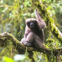 A new species of gibbon has been identified and named after a major Star Wars character