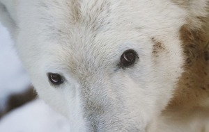 Video: Take a look at the world through the eyes of a polar bear with this first-hand footage