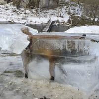 As other animals played in the snow, this fox was getting entombed in ice