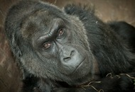 The first gorilla born in captivity has died