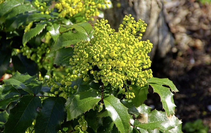 The Casual Gardener: Magic mahonia named after Co Down man?