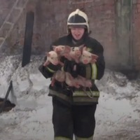 This video of firefighters rescuing pigs will make you squeal with joy