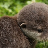 Giant, wolf-sized otters used to roam Earth, scientists reveal