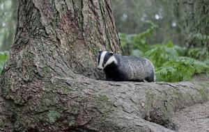Take on Nature: The secretive Mr Badger
