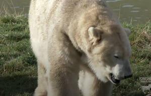 Video: Watch this polar bear take a trip to the dentist