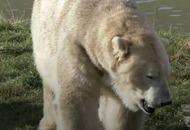 Watch this polar bear take a trip to the dentist