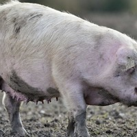 Scientists have created the first human-pig hybrid