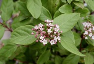 The Casual Gardener: Daphne will fill your pre-spring void