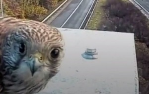 Watch this kestrel cosy up to its favourite motorway camera