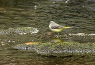 Take on Nature: Grey wagtail an uplifting sight on a winter's day