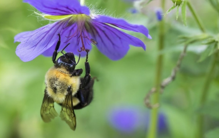 The Trump administration is delaying listing this bumblebee species as endangered