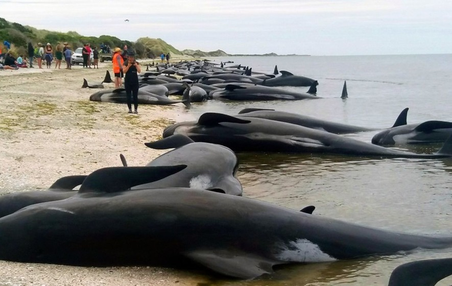See volunteers band together to try and save a new pod of whales stranded on a beach in New Zealand