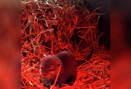 Otter pup born at Exploris Aquarium