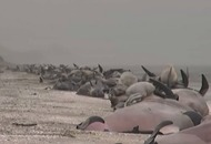 Clean-up begins after 350 whales wash up on a New Zealand beach