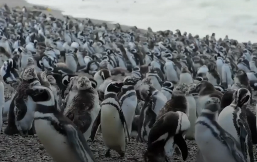 Watching this colony of over a million penguins is probably the best thing you'll do all day