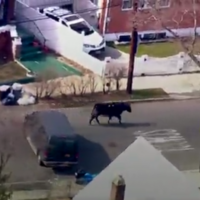 A bull escaped a slaughterhouse in New York and evaded capture for two hours