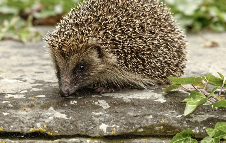 The Casual Gardener: Give a helping hand to hedgehogs