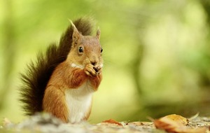 Red squirrel appeal: Volunteers needed to protect endangered animals
