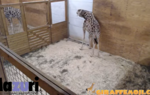 People are avidly watching a live stream of a pregnant giraffe in New York