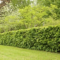 The Casual Gardener: A hedge is a safe bet