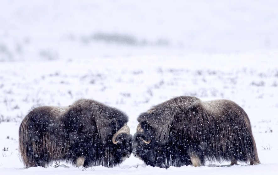 On the trail of the ancient musk ox in Norway's Dovrefjell National Park