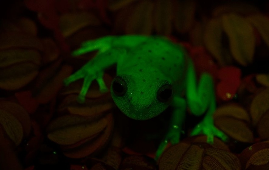 World's first luminous frog discovered in Argentina