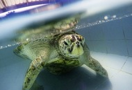 Turtle found with 1,000 coins in stomach dies
