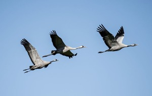 Take on Nature: Corr Scéal takes notions about our ancestors' relationship with cranes