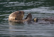 Sea otters could've learned to use tools before the first pre-human