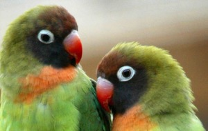 Parrot laughter is contagious and they high five when they hear it