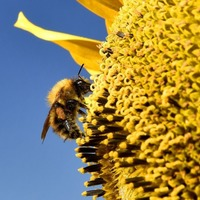 A species of bumblebee has been recognised as endangered in the US