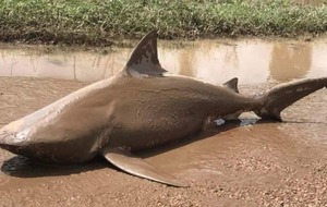 This giant shark shows why you really should stay out of floodwater in Australia