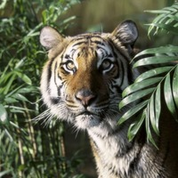 Finally, some good news: Critically endangered tigers have been found breeding in Thailand