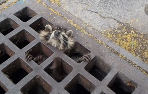 Watch this raccoon rescue from a sewer in Canada to restore your faith in humanity