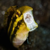 This tiny coral reef fish disables its predators by getting them high on heroin-like venom