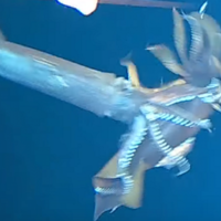 This video of a squid being devoured by another squid confirms all your fears about deep sea creatures