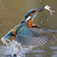 Take on Nature: Why the kingfisher is known as 'the halcyon bird'
