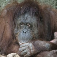 Say hello to the first baby orangutan at Chester Zoo in almost 10 years