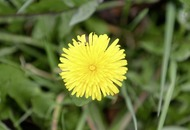 The Casual Gardener: In defence of the dandelion