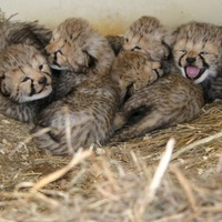 Stop what you're doing right now and look at these adorable baby cheetahs