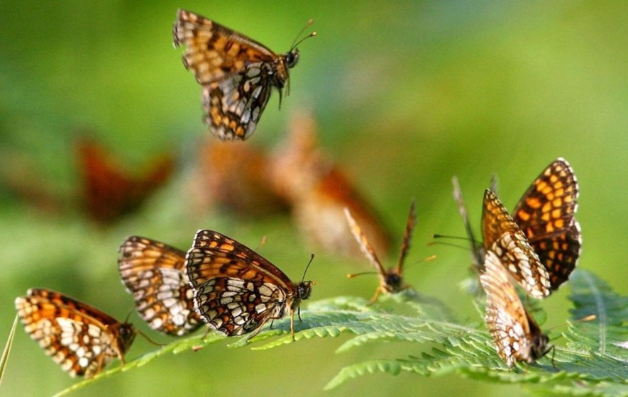 Butterflies in Britain are having a tough time due to changes in the weather