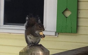 Video: Shop owners feed this squirrel mini ice cream cones every single day and it's the cutest