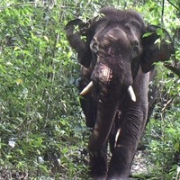 Elephants, tigers and leapards spotted in Burma wilderness by secret cameras