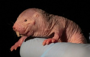 How naked mole rats' 'plant-like' behaviour to avoid oxygen starvation could help stroke patients