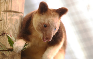 Belfast Zoo visitors catch glimpse of new tree kangaroo