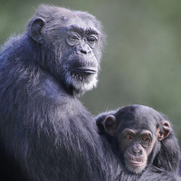 Ape cousins use same gestures to communicate
