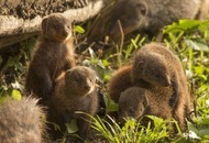 Banded mongooses pick on close female relatives when it comes to kicking members out of the group