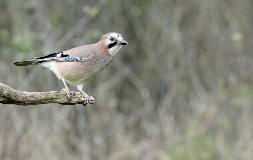 Take on Nature: Jay walking in search of an elusive bird