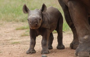 This little black rhino has just been born at Taronga Zoo - and it's good news for the species